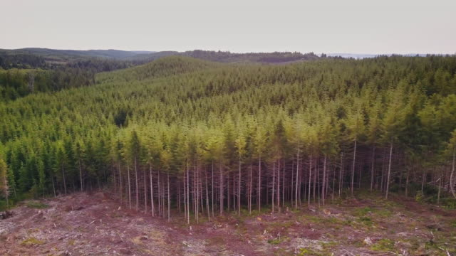 Line Between Harvested Tree Stumps and Surviving Forest - Aerial