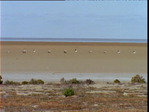 Line of Australian pelicans fly over desert, Lake Eyre, South Australia