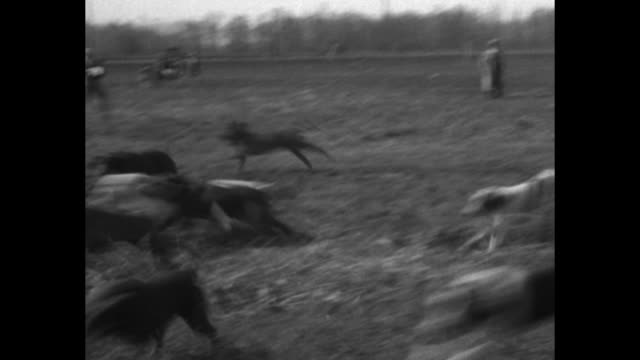Line of hounds and their owners in field / man in field laying trail scent with raccoon on leash raccoon runs up a tree / owners release dogs they...