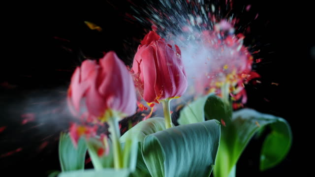 SLO MO LD line of red tulips exploding