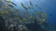 Line of School of Yellowfin goatfish (Mulloides vanicolensis) wide
