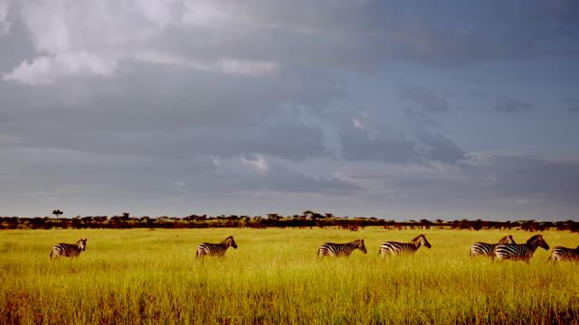 WS Line of zebras walking across grassland under cloudy sky / Masai Mara, Kenya