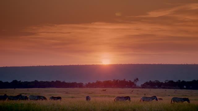 WS Line of zebras walking left to right across grassy plain at sunset / Masai Mara, Kenya