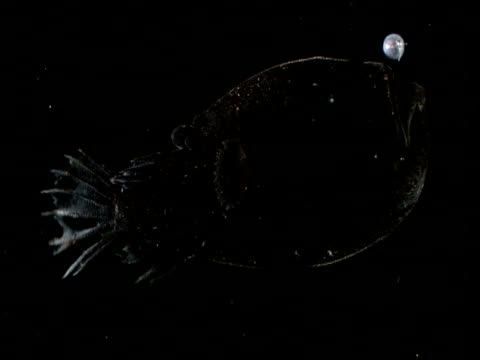 Linophryne angler fish swims and gulps in black ocean, Gulf of Mexico