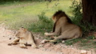 Lion and lioness lying in the shade of a tree on side of dirt road, Kgalagadi Transfrontier Park, South Africa