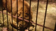 A lion bares its teeth as food is thrown into its cage.