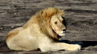 Lion Being Annoyed by Flys