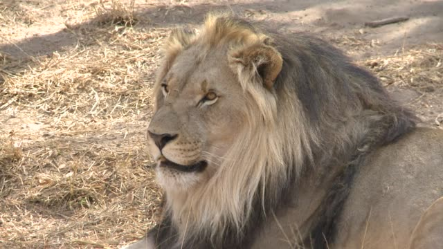 Lion bones have become a hot commodity for their use in Asian traditional medicine driving up exports from South Africa to the East and creating new...