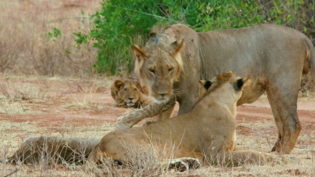 Lion Cub Greets Father Samburu  Kenya  Africa
