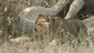 Lion cub lays down next to pride.