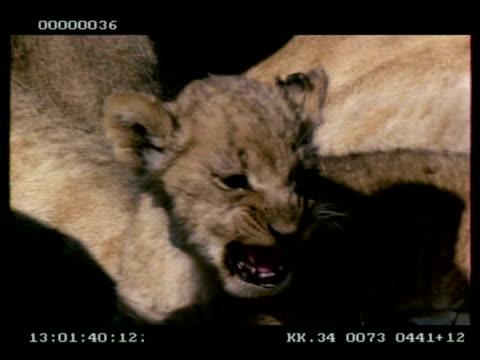 CU Lion cub snarling