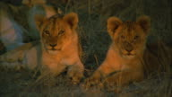 Lion cubs lies side by side in the savanna. Available in HD.