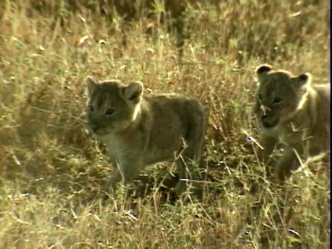 Lion cubs walking through grass