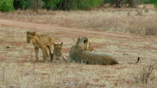 Lion Cubs & Young Father Samburu  Kenya  Africa
