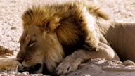 Lion drinking at waterhole
