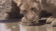 Lion drinks from muddy puddle. Available in HD.