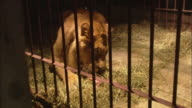 A lion eats meat as it is thrown into its cage.