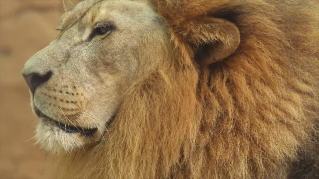 Lion gezicht