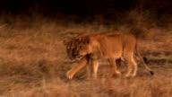 lion Familie