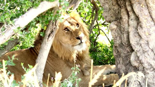 Lion har vackra tittar just nu