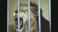 Lion in cage in Brazil.