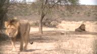 Lion in der Kalahari Gemsbok Park