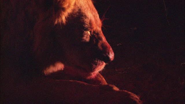 A lion licks its paws.