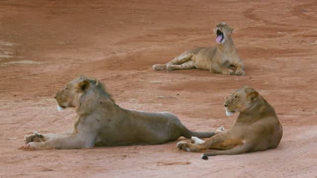 Lion  Lioness & Cubs On Track Samburu  Kenya  Africa