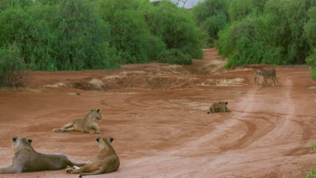Lion  Lioness & Cubs On Track Samburu  Kenya  Africa