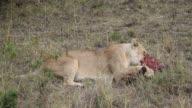 lion (Panthera leo)- lioness  eating bleeding prey