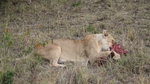 lion (Panthera leo)- lioness  eating bleeding prey