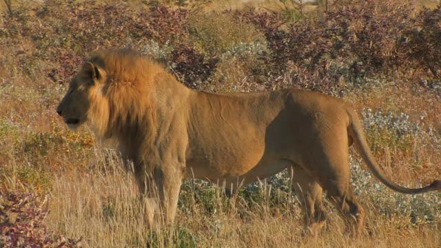 Lion - Loewe