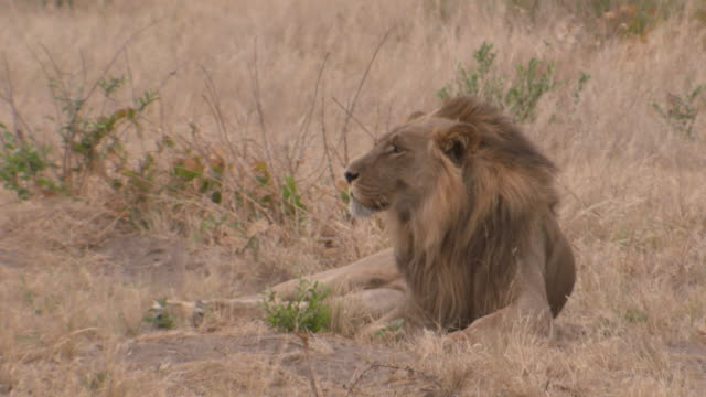 MS Lion lying down observing surroundings with wind  / Central Kalahari Game Reserve, Botswana