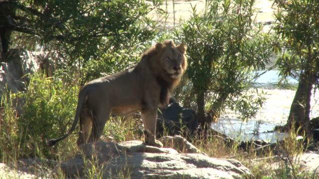 Lion next to river/ Kruger National Park/ South Africa