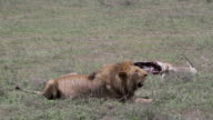 lion panting in front of dead antelope