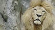 Lion portrait close up