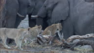 Lion pride amongst elephant herd, Botswana