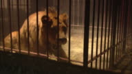 A lion rolls over in its cage, then swipes at the bars with its paw.
