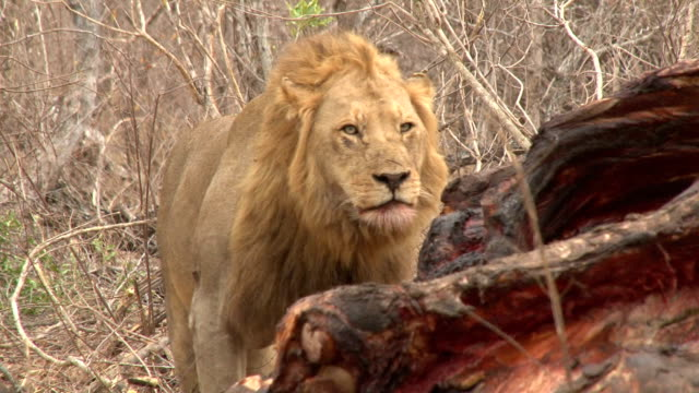 Lion scent marking/ Kruger National Park/ South Africa