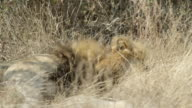 Lion sleeps amongst dry grass.