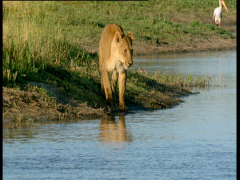 Lion snarls then swims across river