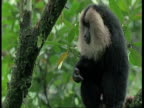 Lion tailed macaque, Macaca silenus, in tree, regurgitates food and eats it, Western Ghats, India