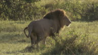 MS TS ZI Lion walking and peeing / Tanzania