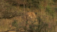 MS TS Lion walking in forest / Tanzania