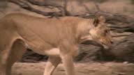 Lion zu Fuß in der Kalahari-Wüste