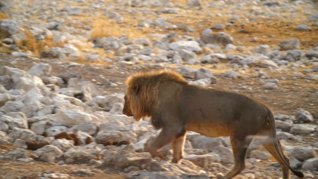 MS PAN Lion walking near platform in savannah / Namibia