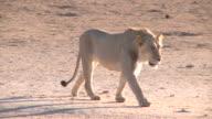 Lion zu Fuß in ein Wasserloch in der Kalahari Gemsbok Park