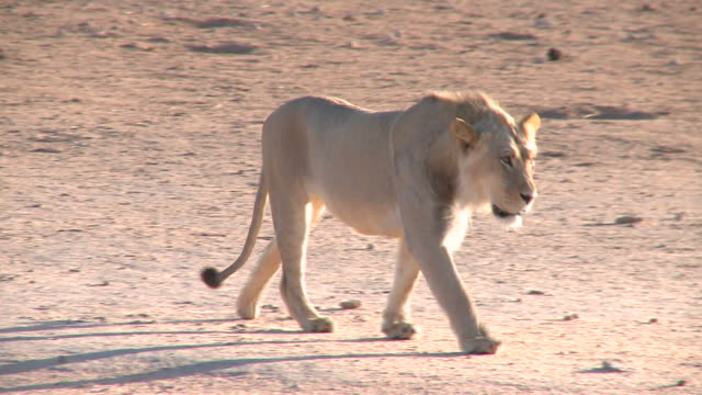 Lion walking towards a waterhole in the Kalahari Gemsbok Park