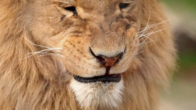 Lion yawning.
