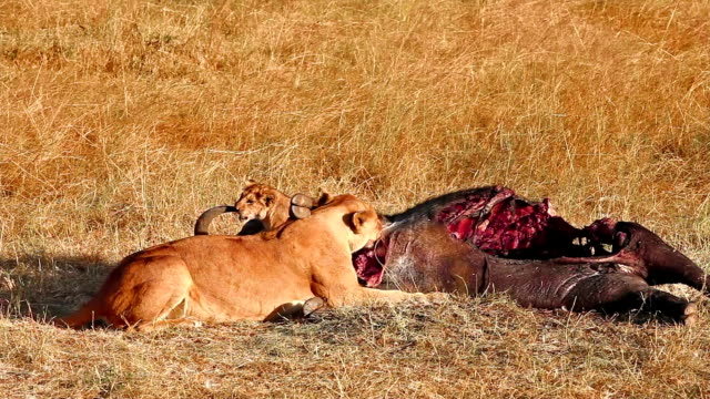 Lioness and cub eating buffalo corps